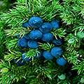 В состав Эронестила входят можжевельник плюс кора дуба.