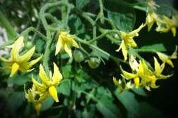 Состав КорнеМакс способствует образованию крупных цветков и активной завязи.